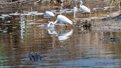 Everyone Looking To Eat, Egrets, Alligators