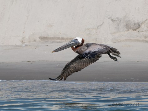 Brown Pelican Low