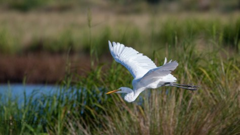 A Quick Escape, Great Egret
