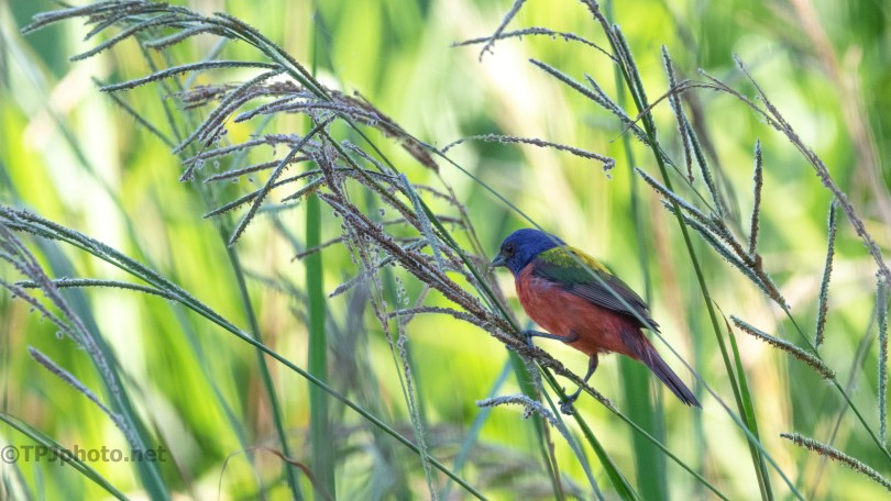 Bunting, Deep In The Grasses