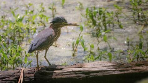 Green Heron On The Ashley River Bank