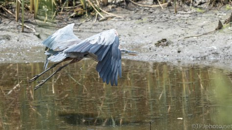 Great Blue Making His Escape