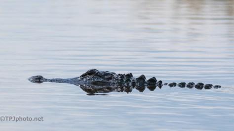 A Few Locals, Alligators