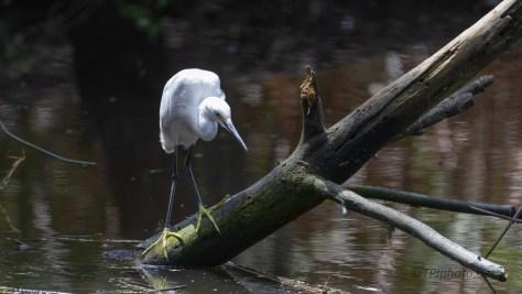 Dark Corner Of A Swamp, Snowy Egret