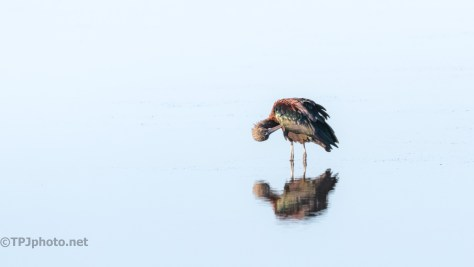 Glossy Ibis Reflections
