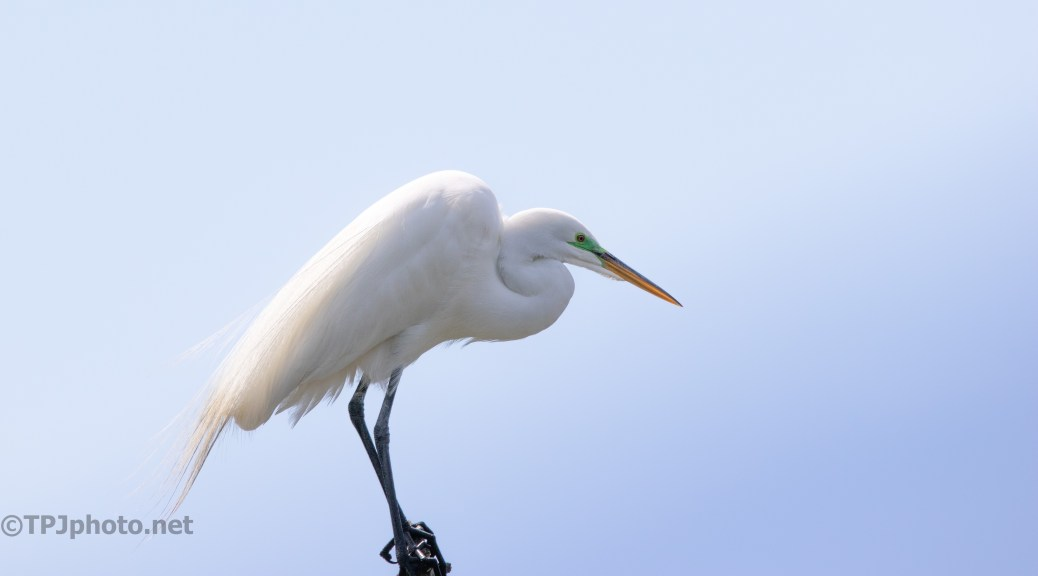 Up High, Great Egret