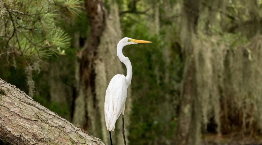 Looking Regal, Great Egret