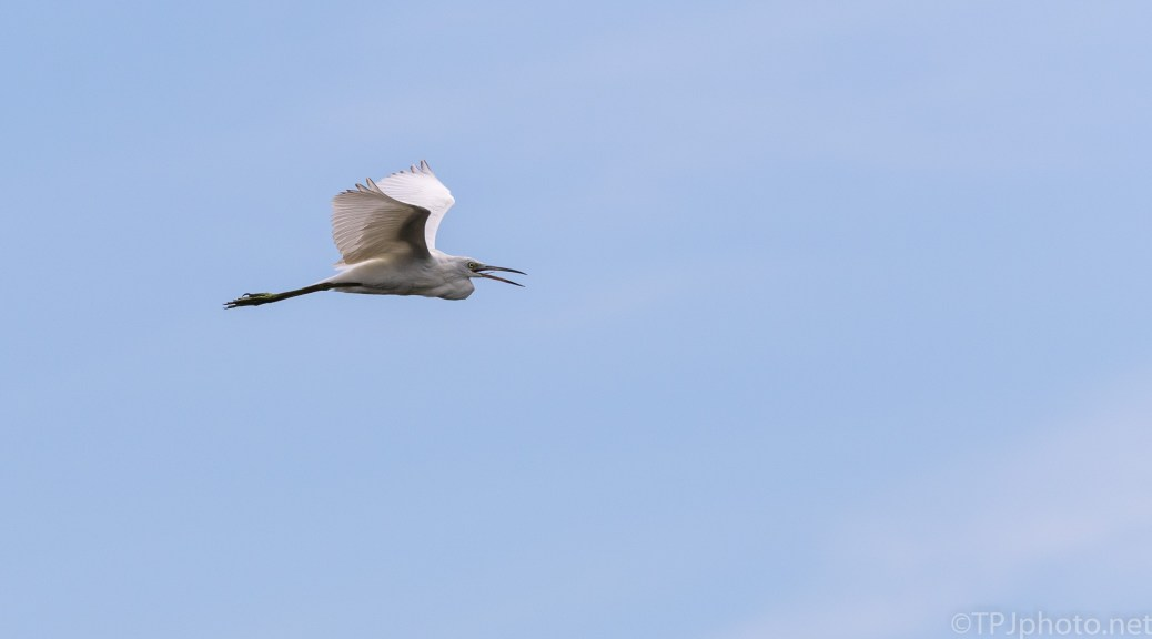 Sudden Fly By, Egret