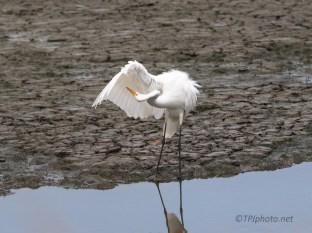 Getting All Pretty, Great Egret
