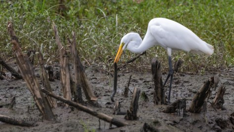 Great Egret Catches A Siren