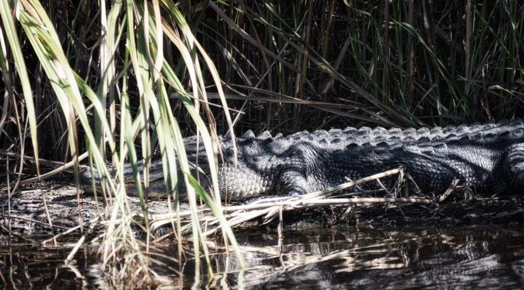 Oops Tip Toe Quietly, Alligator