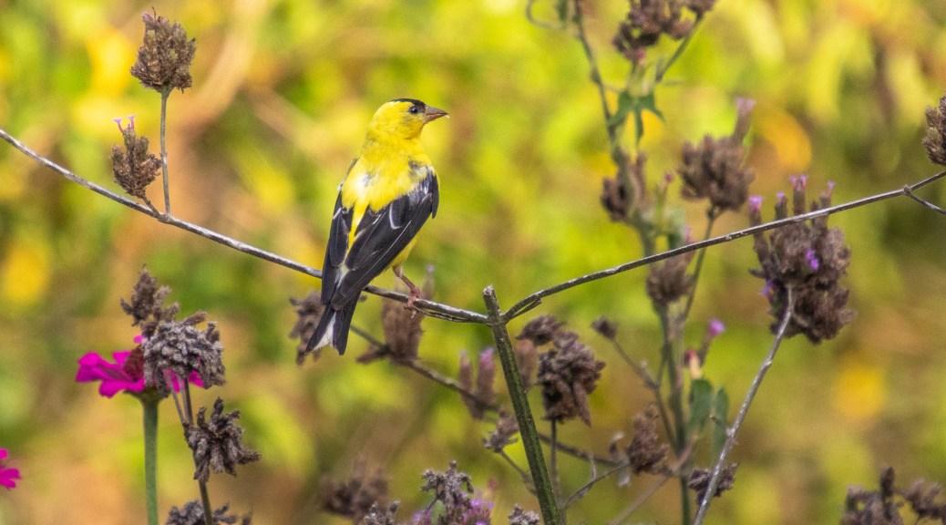 Finch Blends In