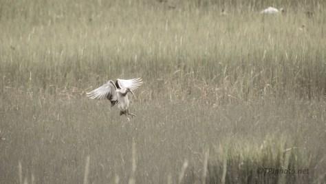 Tall Grass, Ibis