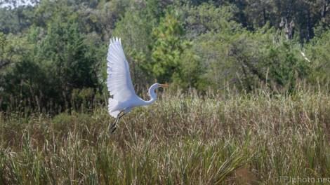 Quick Escape, Great Egret