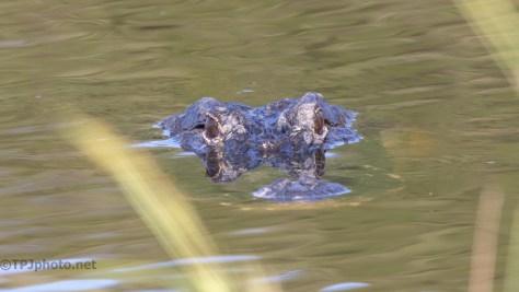 As We Go By, Alligator