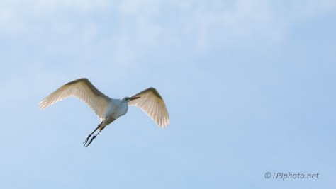 Floating, Great Egret