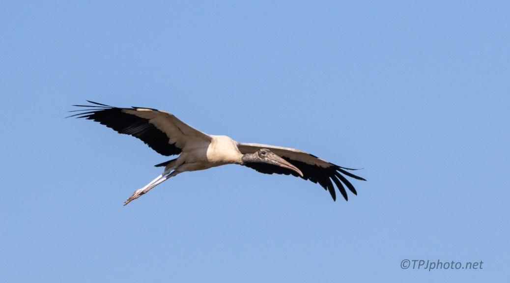 A Big Shadow, Wood Stork