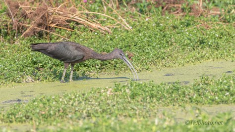 Glossy Ibis, In A Marsh
