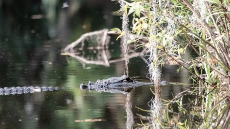 Rarely Leaves This Spot, Alligator