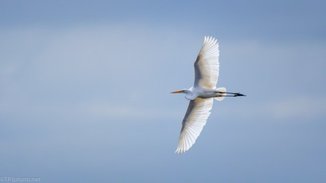 Great Egret, A Barrier Island