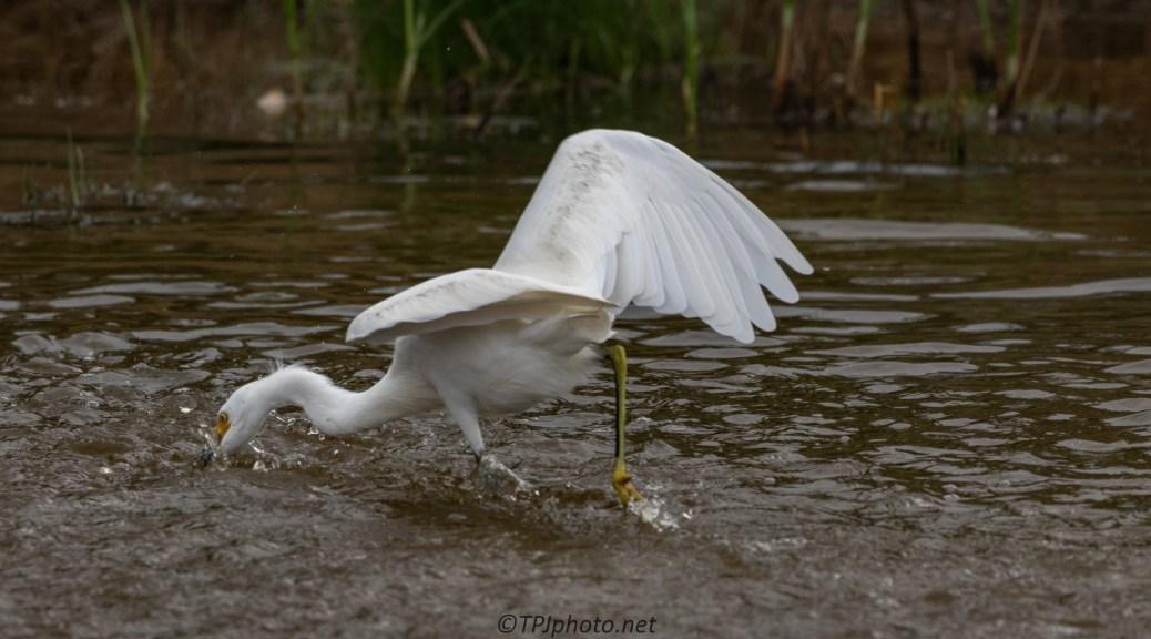 Chasing Tiny Fish, Snowy Egret