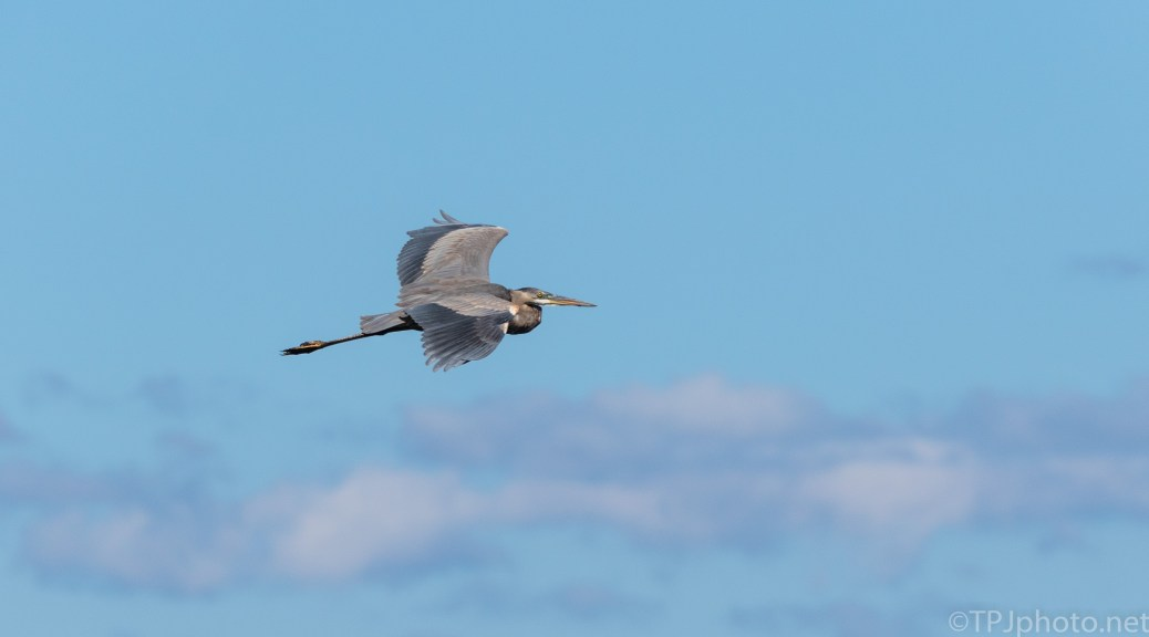 An Old Rice Field Fly By, Heron