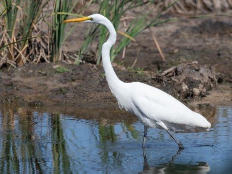 Rice Field Egret