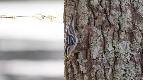 A Second Black And White Warbler