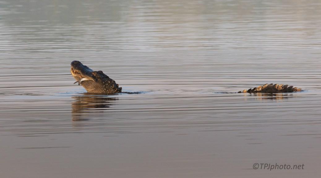 Breakfast, Alligator
