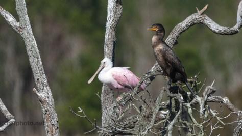 Cormorant Season