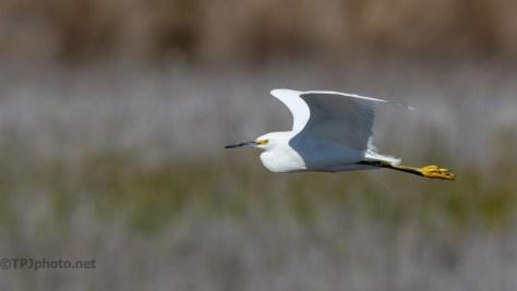 Snowy Egret Sneaking Past