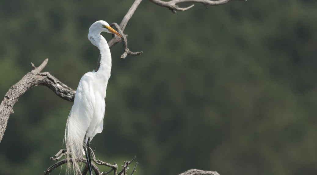 Solitary Egret