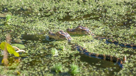 Momma And The Kids, Alligator