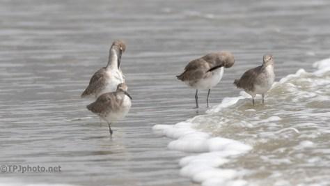 Shore Birds, Willet