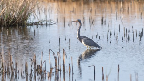 Tricolored Heron, Calm Morning