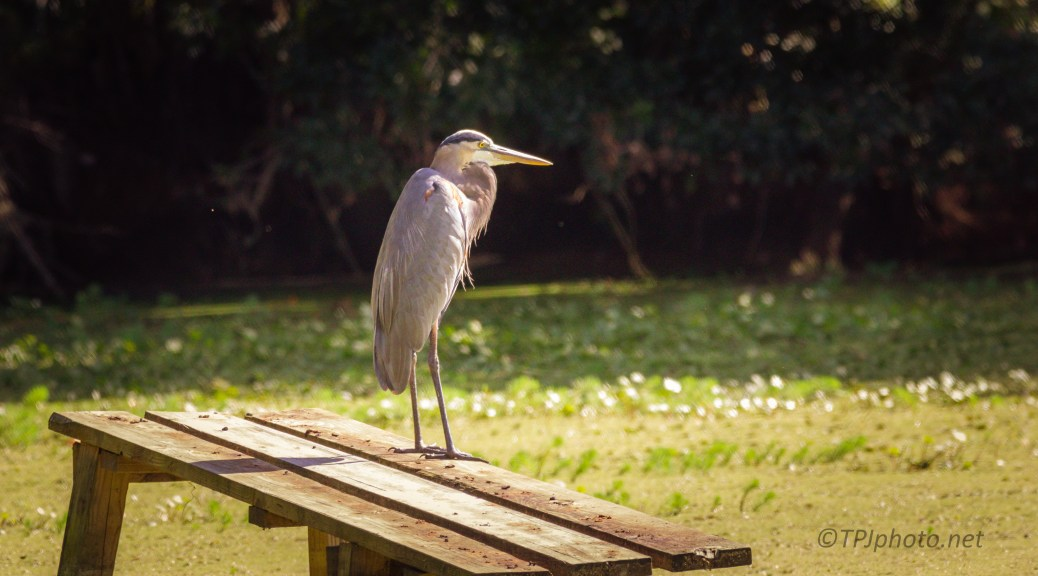 Great Blue, Just Watching