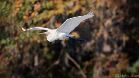 Great Egret, Fall Colors