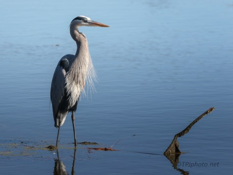 Great Blue, Waiting For Me To Leave
