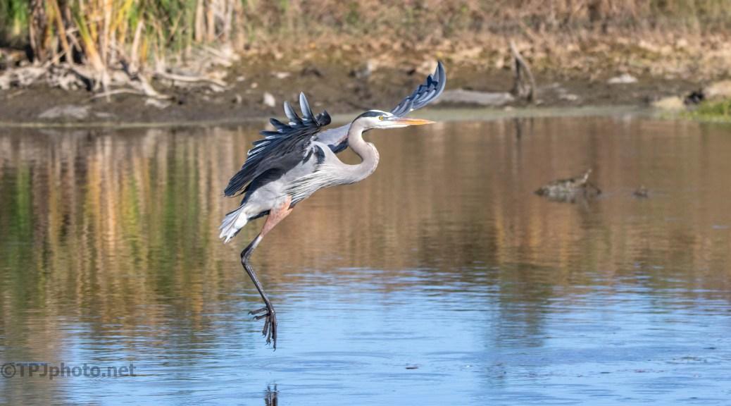 Great Blue, Marsh In Flight