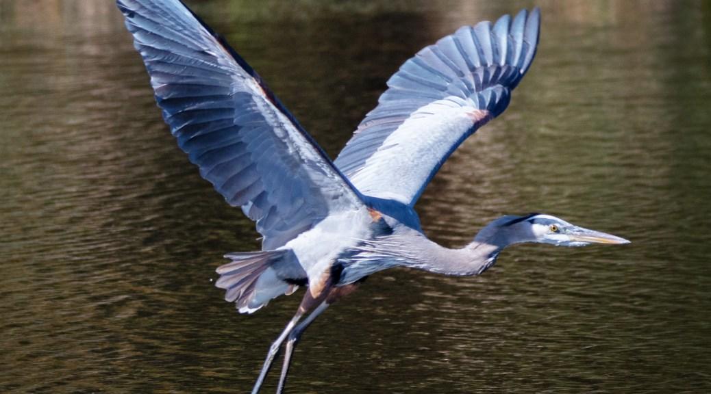 Classic Heron Image