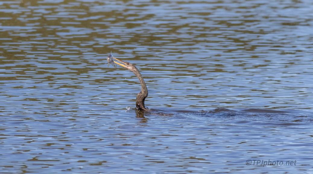 Anhinga, Fish Flippin