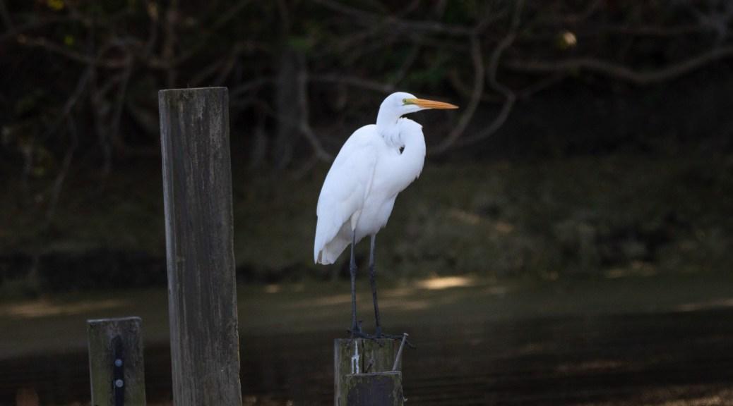 Posing On A Pier, Great Egret