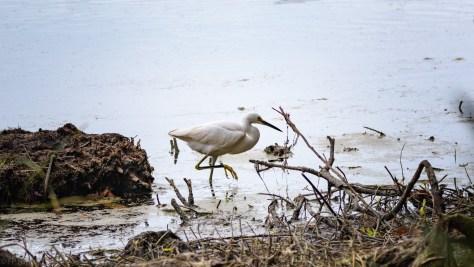 Sneak By, Snowy Egret