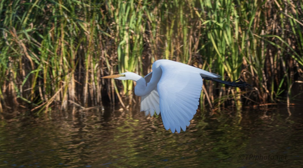 A Fly By, Great Egret