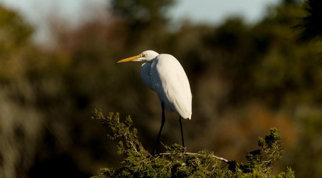 Up Top, Egret