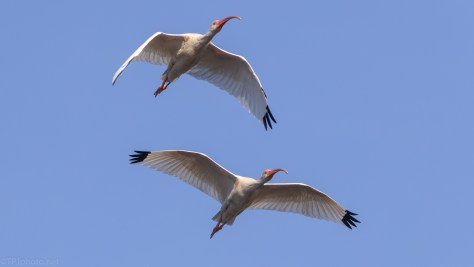 Ibis, A Good Fly By