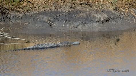 'Not' A Log, Alligator