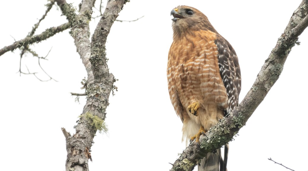 A Loud Red-shouldered Hawk