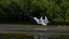 A Nice Soft Pelican Landing