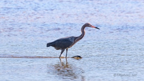 Found One, Reddish Egret